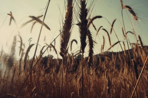 nature-field-agriculture-cereals