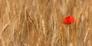 pole zbóż i mak